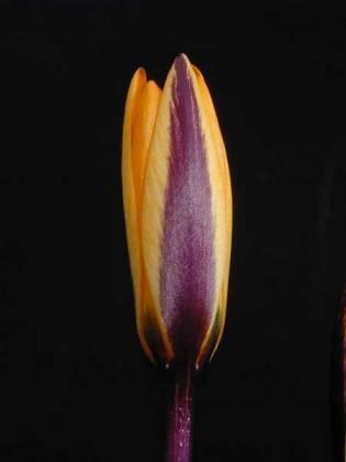 Crocus angustifolius