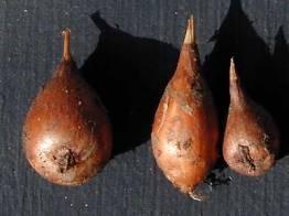 Crocus hyemalis