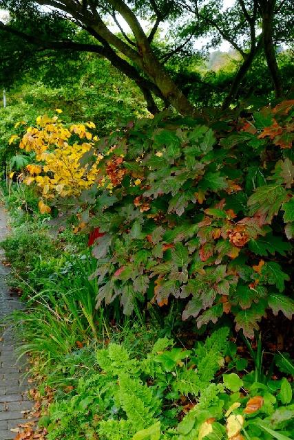 Hydrangea quercifolia at Coosheen Garden