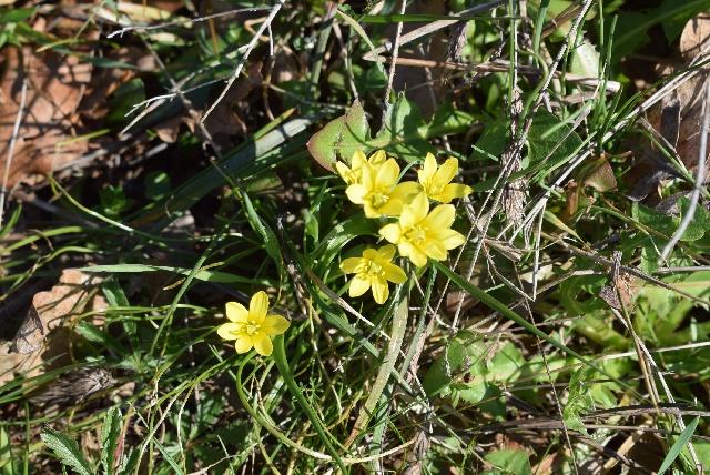 Gagea chrysantha