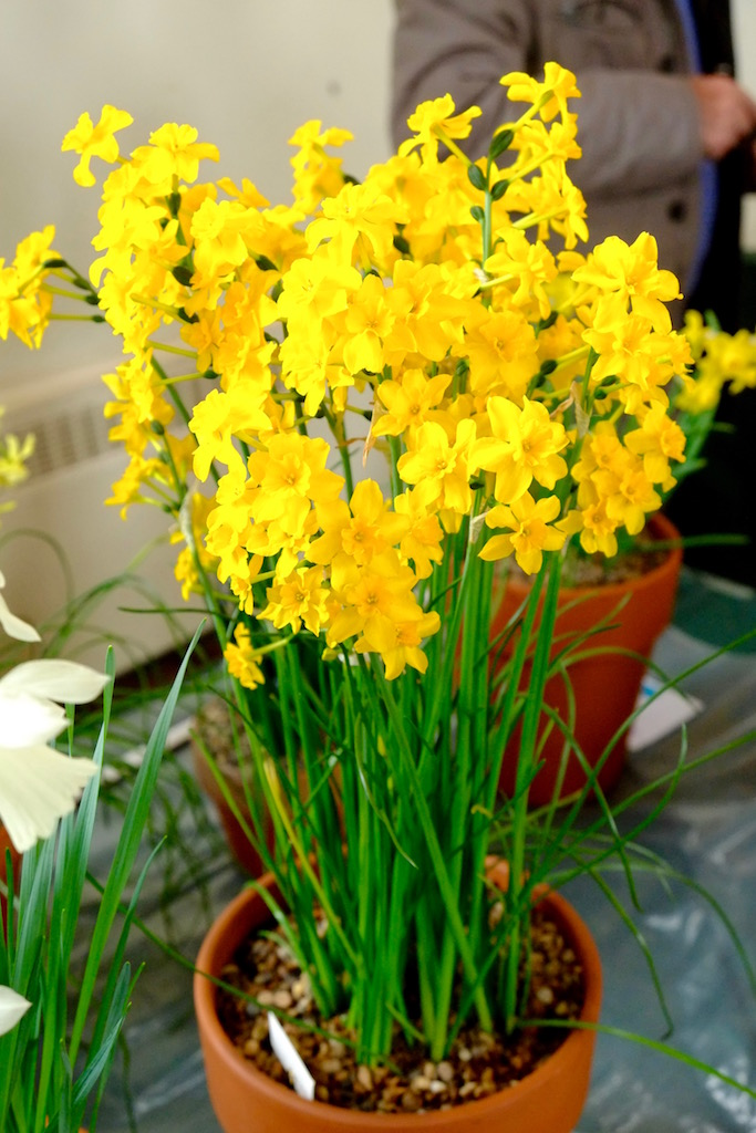 Narcissus jonquilla var. henriquiesii at the Kent Easter AGS Show 2016