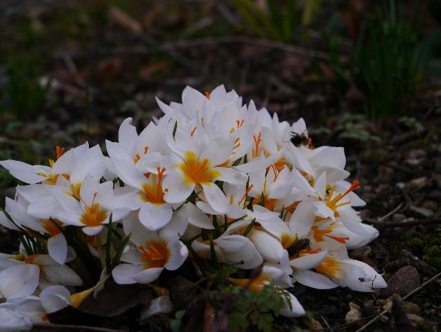 Crocus sieberi 'Bowels White'