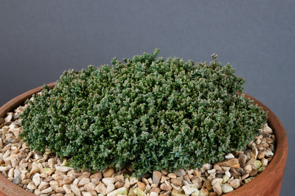 Juniperus horizontalis Neumann