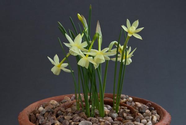 Narcissus rupicola x triandrus
