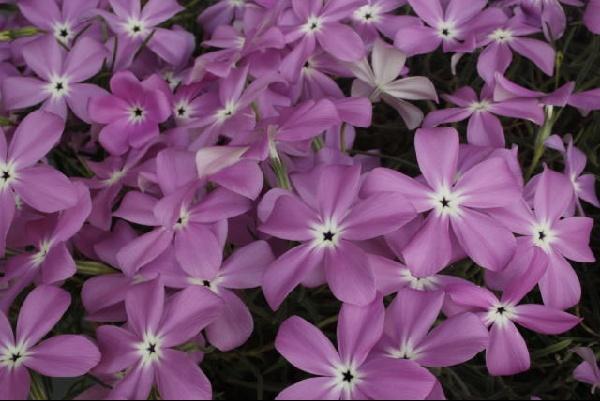 Phlox nana ensifolia