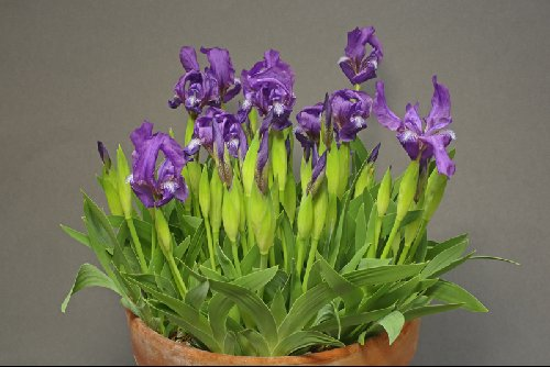 Iris timofejewii