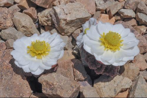 Ranunculus semiverticillatus