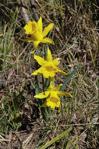 Narcissus hispanicus