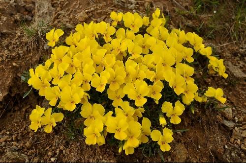 Viola eximia