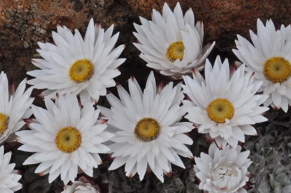Helichrysum  milfordiae